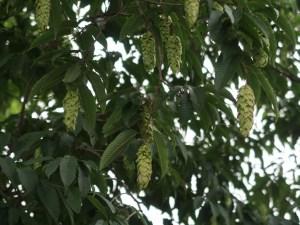 Carpinus japonica/ Japanese hornbeam / クマシデ