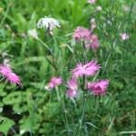 Dianthus superbus/ Fringed pink/ カワラナデシコ