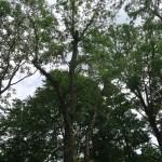 Ulmus parvifolia/ Lacebark elm/ アキニレ