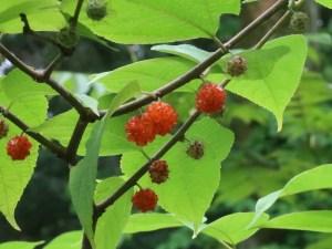 Broussonetia kazinoki/ Small paper mulberry/ ヒメコウゾ