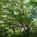Celtis sinensis/ Chinese hackberry/ エノキ