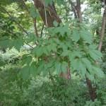Acer cissifolium/ Vine-leafed maple/ ミツデカエデ