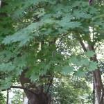 Acer japonicum/ Amur maple/ ハウチワカエデ コハウチワカエデ