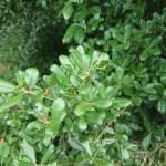 Quercus phillyraeoides/ ubame oak/ ウバメガシ