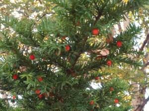 Taxus cuspidata/ Japanese yew/ イチイ