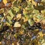 Betula platyphylla/ Japanese white birch/ シラカンバ
