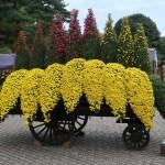 Florist's daisy/ キク 花車
