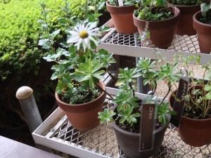 Nipponanthemum nipponicum/ Nippon daisy/ ハマギク