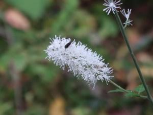 Cimicifuga simplex/ Bugbane/ サラシナショウマ