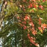 Acer pseudoplantanus/ Sycamore/ セイヨウカジカエデ