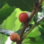 Coffea arabica/ Arabian coffee/ アラビアコーヒー