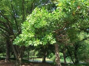 Machilus thunbergii/ タブノキ
