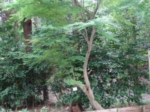 Acer amoenum var. matsumurae/ Japanese maple (yamamomiji)/ ヤマモミジ