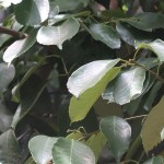 Quercus acuta/ Japanese evergreen oak/ アカガシ