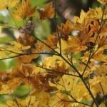 Acer sieboldianum/ Amur maple/ コハウチワカエデ