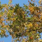 Ulmus parvifolia/ Lacebark elm/ アキニレ 秋楡