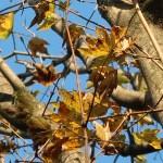 Acer diabolicum/ Horned Maple/ カジカエデ