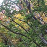 Acer buergerianum var.formosanum/ Trident maple/ ミヤサマカエデ 宮様蛙手
