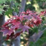 Acer amoenum / Japanese maple (omomizi)/ オオモミジ