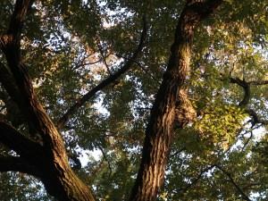 Quercus serrata / Jolcham oak/ コナラ