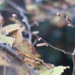 Corylus sieboldiana/ Asian Beaked Hazel/ ツノハシバミ
