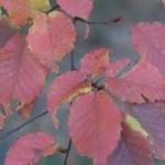 Carpinus laxiflora / Aka-shide hornbeam / アカシデ