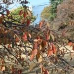 Cerasus × yedoensis/ Cherry var. someiyoshino/ ソメイヨシノ メイヨシノ落葉