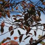 Cerasus campanulata 'Yoko' Cherry var.Youkou ヨウコウ 陽光 落葉