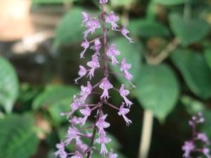 Stenoglottis longifolia/ ステノグロティス  ロンギフォリア