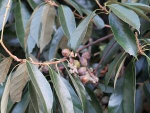 Lithocarpus glaber/ Japanese oak/ シリブカガシ