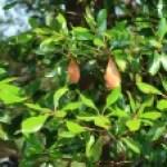 Ternstroemia gymnanthera/ Japanese Ternstroemia/ モッコク