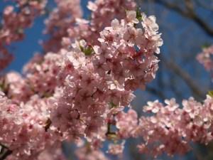 Prunus ×kanzakura 'Oh-kanzakura'/ Cherry var. Oh-kanzakura/ オオカンザクラ