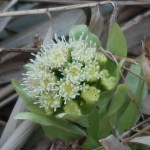 Petasites japonicus/ Butterbur/ フキ