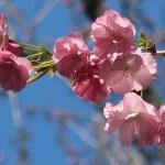 Cerasus x lannesiana 'Beni-yutaka'/ Cherry var. Beni-yutaka/ ベニユタカ 紅豊