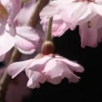 Cerasus spachiana Lavalee ex H.Otto f. spachiana'Yaebenishidare'/ Cherry var. Yae Benishidare/ ヤエベニシダレ 八重紅枝垂