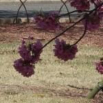 Cerasus × kanzakura 'Yokohama-hizakura'/ Cherry var. Yokohama-hizakura/ ヨコハマヒザクラ