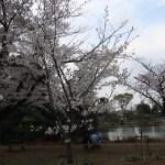 Cerasus leveilleana/ Cherry Kasumizakura/ カスミザクラ
