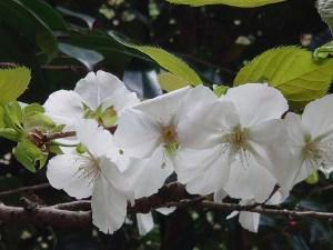 Cerasus serrulata 'Taihaku'/ Cherry var. Taihaku/ タイハク 京都駒繋