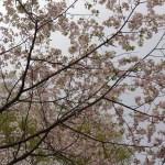 Cerasus serrulate 'Kotohira'/ Cherry var. Kotohira/ コトヒラ 琴平