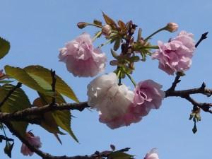 Cerasus serrulata 'Matsumae-ohsio'/ Cherry var. Matsumae-ohsio/ マツマエオオシオ