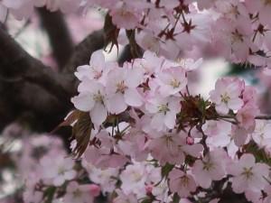 Cerasus sargentii/ Sargent's cherry/ オオヤマザクラ