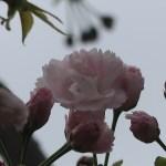 "Cerasus serrulata ""Masuyama""/ Cherry var. Masuyama/ マスヤマ"