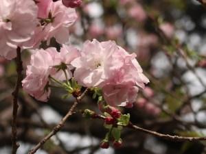 Cerasus serrulata 'Contorta'/ Cherry var. Fukurokujyu/ フクロクジュ