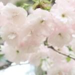 Cerasus serrulata cv. Hisakura/ Cherry var. Ichiyou/ イチヨウ