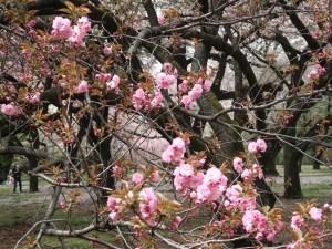 Cerasus serrulata cv. Kanzan/ Cherry var. Kanzan/ カンザン