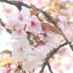 Cerasus serrulata 'Taoyame'/ Cherry var. Taoyame/ タオヤメ