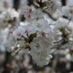 Cerasus speciosa 'Gozanomanioi'/ Cherry var. Gozanomanioi/ゴザノマニオイ