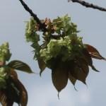 Cerasus serrulata var.Gyoikou/ Cherry var. Gyoikou/ ギョイコウ
