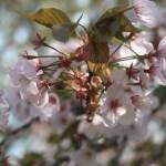 Cerasus serrulata 'Arashiyama'/ Cherry var. 'Arashiyama'/ アラシヤマ