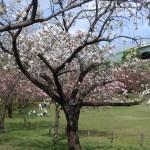 Cerasus speciosa 'Surugadai-odora'/ Cherry var. Surugadai nioi/ スルガダイニオイ